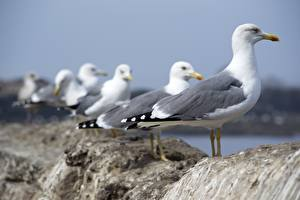 Pictures Bird Seagulls Blurred background Side