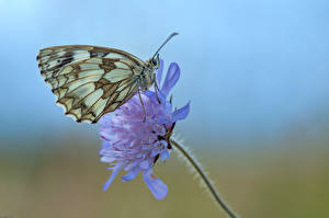 Image Butterfly Insects Closeup Marbled White Animals
