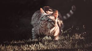 Pictures Cats Grass Glance animal