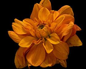 Bilder Chrysanthemen Hautnah Schwarzer Hintergrund Orange