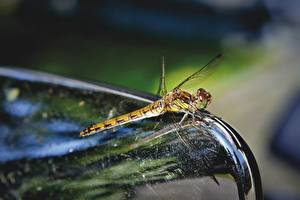 Picture Closeup Dragonflies Insects Blurred background