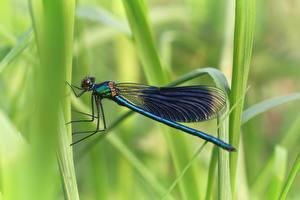Hintergrundbilder Nahaufnahme Insekten Libellen Unscharfer Hintergrund Calopteryx virgo ein Tier