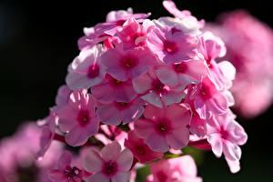 Hintergrundbilder Nahaufnahme Phlox Bokeh Rosa Farbe Blumen