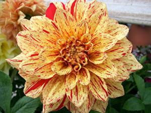 Tapety na pulpit Dalia Zbliżenie kwiat
