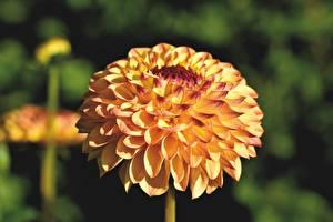 Bilder Georginen Hautnah Bokeh Gelb Blumen