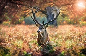 Pictures Deer Horns Animals