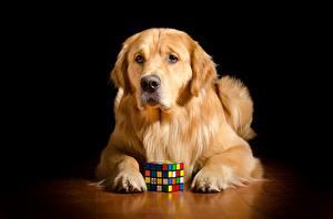 Bilder Hunde Golden Retriever Liegt Orange rot Blick Pfote Würfel Tiere