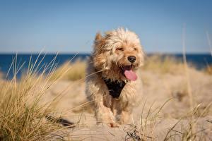 Photo Dogs Grass Sand Tongue Tibetan terrier animal