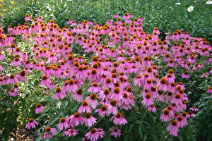 Bilder Purpur-Sonnenhut Viel Rosa Farbe Blumen