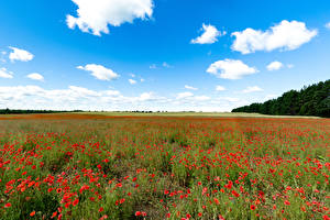 Pictures Fields Poppies Many Sky Nature
