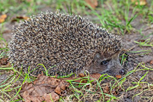 Photo Hedgehogs Closeup animal