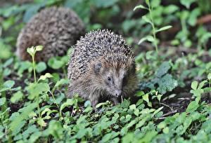 Images Hedgehogs Grass Bokeh