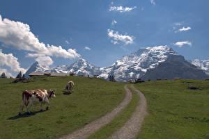 Bureaubladachtergronden Bergen Een koe Zwitserland Grasland Gras Smalle weg Alpen Jungfrau Natuur