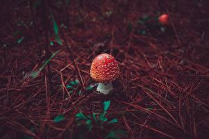 Bilder Pilze Natur Wulstlinge Rot