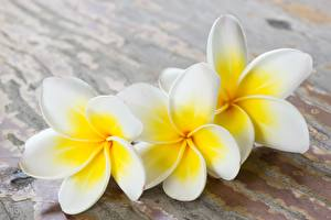 Wallpaper Plumeria White Three 3 flower