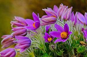 Hintergrundbilder Kuhschellen Violett Blüte