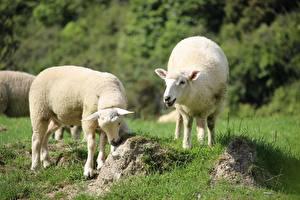 Images Sheep Grass Bokeh Two