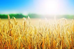 Fotos Sommer Acker Weizen Ähren Unscharfer Hintergrund Natur