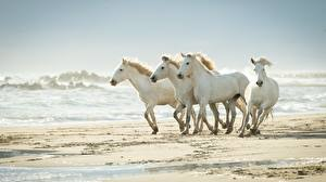 Pictures Waves Horses Sand White animal