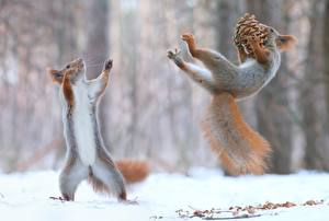 Wallpapers Winter Squirrels Snow Bokeh 2 Pine cone Jump Funny Posing Playing animal