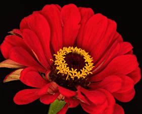 Картинки Циннии Крупным планом Черный фон Красный Цветы