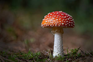 Picture Amanita Mushrooms nature Closeup Blurred background Nature