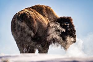 Desktop wallpapers American bison Vapor frozen hill animal