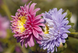 Image Asters Closeup Blurred background 2 flower