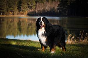 Picture Bernese Mountain Dog Dog Grass Staring Blurred background