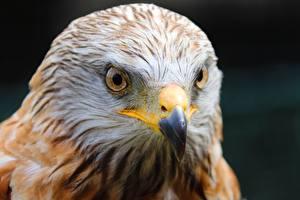 Pictures Bird Closeup Hawk Head Beak Glance Desert Buzzard