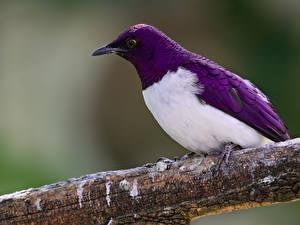 Hintergrundbilder Vögel Ast Violett Sturnus ein Tier