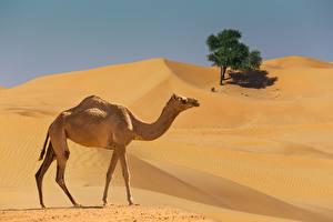 Desktop hintergrundbilder Kamele Wüste Seitlich Tiere