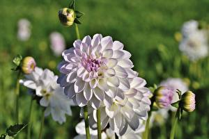 Image Closeup Dahlias Blurred background Flower-bud flower