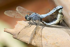 Picture Closeup Odonata Insects Two Animals