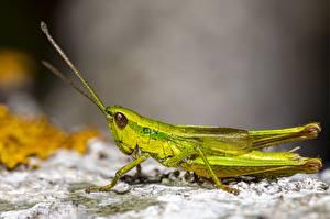 Hintergrundbilder Hautnah Heuschrecken Insekten Unscharfer Hintergrund Grün ein Tier