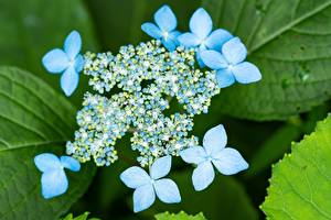 Desktop wallpapers Closeup Hydrangea Blurred background Light Blue flower