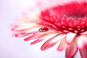 Wallpapers Closeup Ladybird Gerberas Petals flower