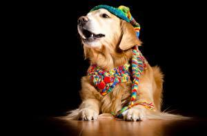 Fondos de escritorio Perros Golden retriever Fondo negro Sombrero del invierno Bufanda animales