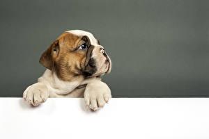 Desktop hintergrundbilder Hund Welpen Bulldogge Vorlage Grußkarte ein Tier