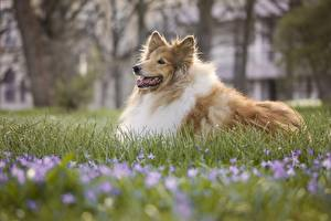 Images Dog Grass Collie Blurred background Rough Collie
