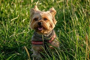 Desktop wallpapers Dog Yorkshire terrier Sit Grass Glance Tongue animal