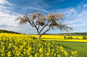 Pictures Germany Fields Rapeseed Flowering trees Spring Sky Hessen Nature