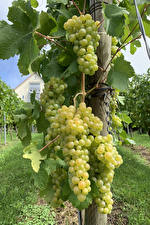 Pictures Grapes Vineyard Branches Food