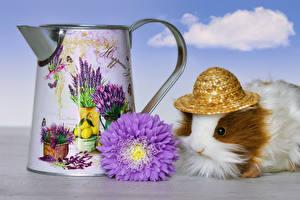 Fotos Hausmeerschweinchen Astern Der Hut Tiere Blumen