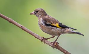 Papel de Parede Desktop Filhote de pássaro Pássaros Galho Goldfinch um animal