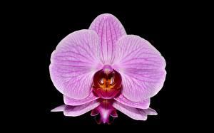 Bilder Orchideen Nahaufnahme Rosa Farbe Schwarzer Hintergrund Blumen