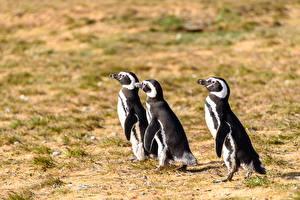 桌面壁纸,,企鵝,鸟,三 3,動物