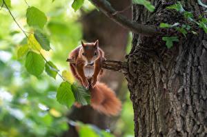 Fotos & Bilder Eichhörnchen Nagetiere Ast Tiere