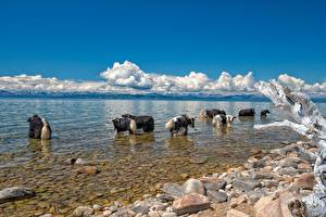 Images Stones Lake Bull Wild yak