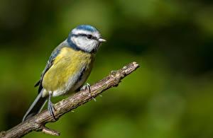 Papel de Parede Desktop Teta Aves Galho Blue tit Animalia